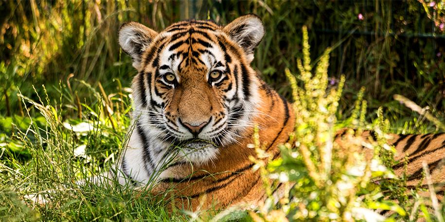 school_trips_8869295-tiger.png